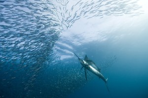 'Hitting sailfish' - Sailfish attacking schooling fish in Port St Johns, South Africa